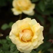 Розы Поэтри ин Моушн