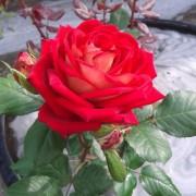Розы Розы. Энциклопедия роз.