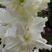 Гладиолусы Белый Танец