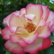Розы Кокорико 89