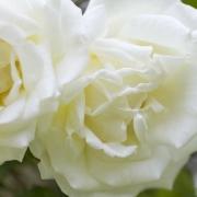 Розы Пол'с Лемон Пиллар