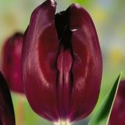 Тюльпаны Блэкаут
