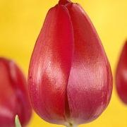 Тюльпаны Атилла Граффити