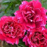 Les roses Baron Jiro de Len