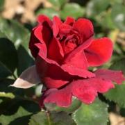 Розы Хациенда