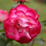 Розы Новая