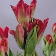 Тюльпаны Пимпернел