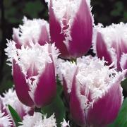 Тюльпаны Американ Игл