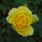 Розы Голд Банни