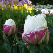 Тюльпаны Дабл Полар