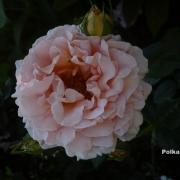 Розы Полька 91