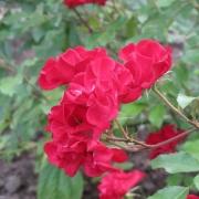 Розы Мистик Фейри