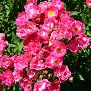 Розы Мартас Виньярд