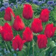 Тюльпаны Дача