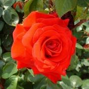 Розы Ред Стар