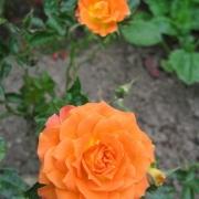 Розы Мандарине Симфони