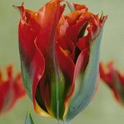 Тюльпаны Грин Валлей