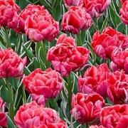Тюльпаны Этернал Флейм