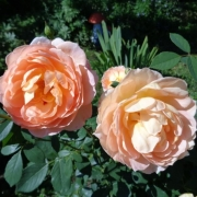 Розы Леди оф Шалотт