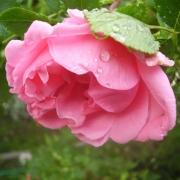 Розы Прери Даун