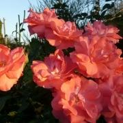 Розы Анисли Диксон