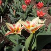 Тюльпаны Квебек