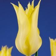 Тюльпаны Вирили Йеллоу