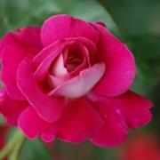 Розы Барон Эдмонд де Ротшильд