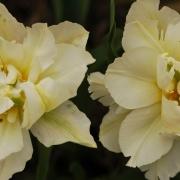 Тюльпаны Шунорд