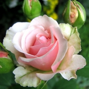Розы Кармелина