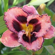Taglilien Osem Blossom