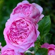 Розы Шантал Мерье