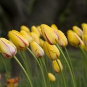 Тюльпаны Ля Куртин