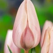Тюльпаны Даймонд Династи