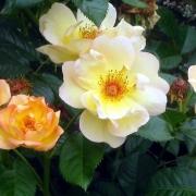 Розы Виндраш