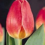 Тюльпаны Сакраменто