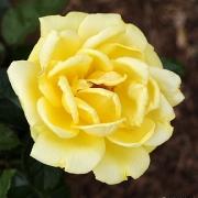 Розы Отель Калифорния