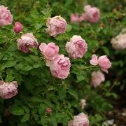 Розы Чарльз Ренни Макинтош