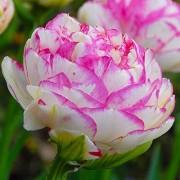 Тюльпаны Дабл Тач