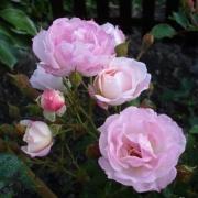 Розы Флирт
