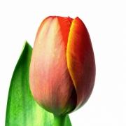 Тюльпаны Вирджиния