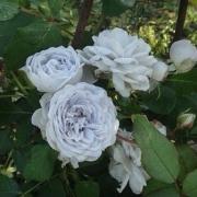 Розы Гризелис
