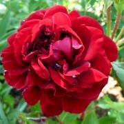 Розы Изабелль Ренессанс