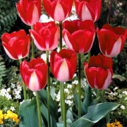Тюльпаны Ред Липс