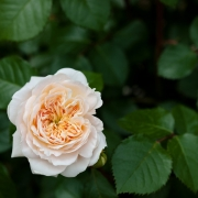Розы Жардинс де л'Ессонни