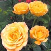Розы Воюкс де Бонеур