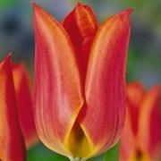 Тюльпаны Твин Спарк