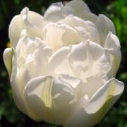 Тюльпаны Ап Вайт