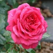 Розы Париж-Матч