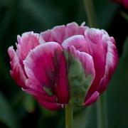 Тюльпаны Дестини